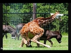 XXX Animal Sex Tape...Hit that like a Giraffe!