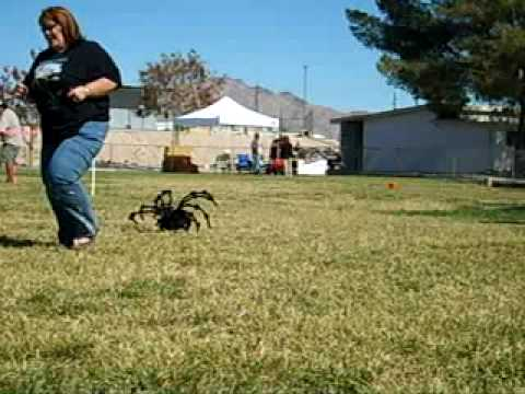 Biggest Spider In The World Record