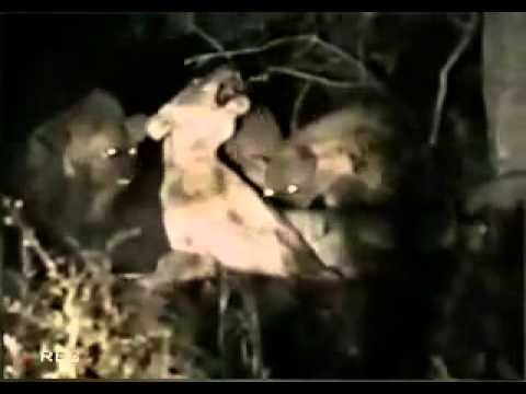 ‪Hyenas kill and eat lion for lunch ‬‏   YouTube | PopScreen